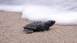 Baby Sea Turtle 02
